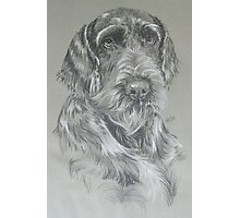 German Wire-haired Pointer Photographic Print