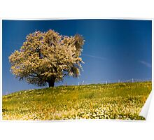 Single blossoming tree in spring. Poster