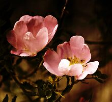 wild rose by Rachel  McKinnie