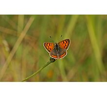Small Copper Butterfly Photographic Print