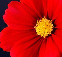 Red Beauty by Sheryl Kasper