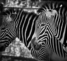 Zebra is the new Black by andapanda