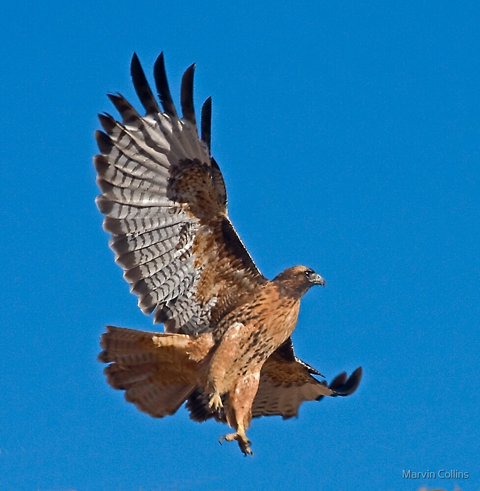 Red Tailed Hawk - Dark Morph by Marvin Collins