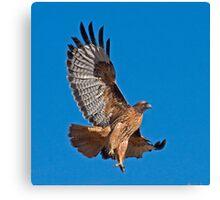 Red Tailed Hawk - Dark Morph Canvas Print