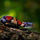 'Red King Snake' by Vincent von Frese