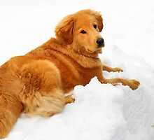 Golden Retriever in Snow by Christina Rollo