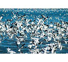 Plethora of Snow Geese Photographic Print