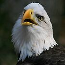 American freedom, the magnificent bald eagle by miradorpictures