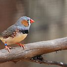 Zebra Finch by Steve Bullock