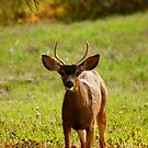 Young Buck by flyfish70