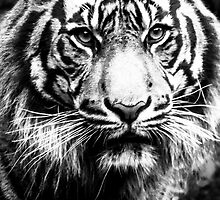 Black and White Tiger Closeup by PenguinPlot