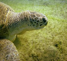 Portrait of a Turtle by 2Tall
