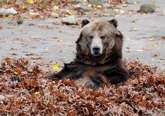 Brown Bear in leaves by main1