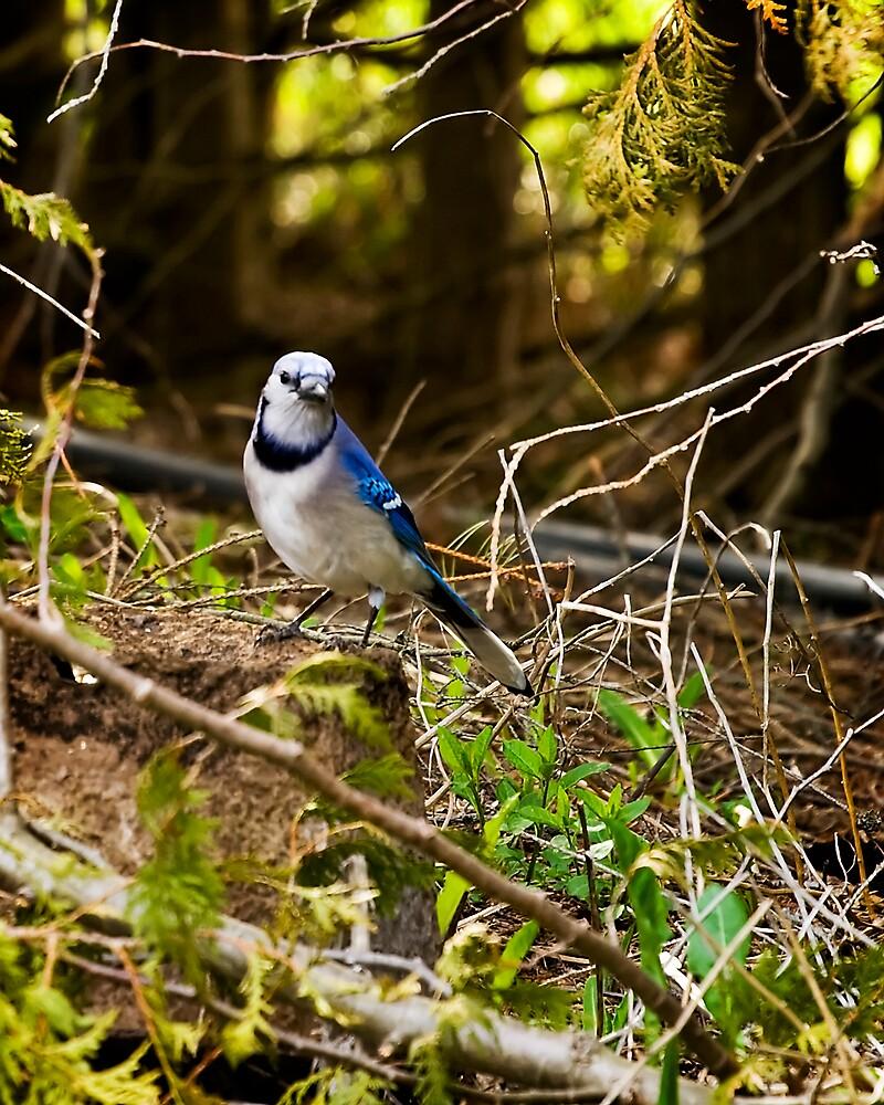 Blue Jay by StephenCoyle