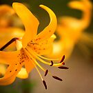 Lilies So Fair by Stephen Thomas