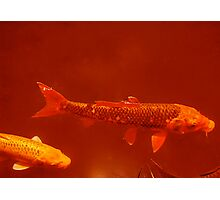Red Fish Photographic Print