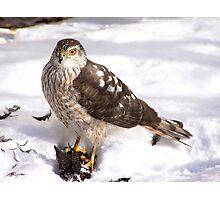 Coopers Hawk Photographic Print