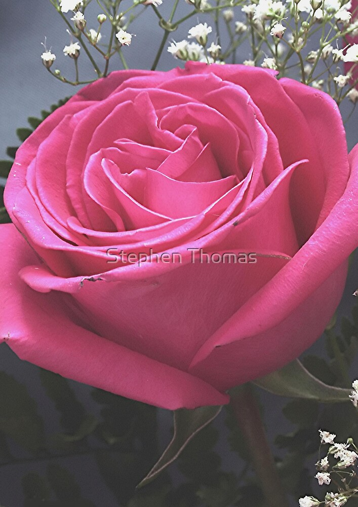 Pink Rose and Babies Breath by Stephen Thomas