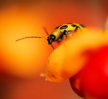 Cucumber Beetle by PamelaJoPhoto