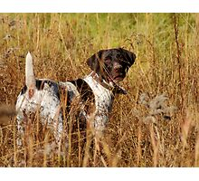 German Shorthair Pointer Photographic Print