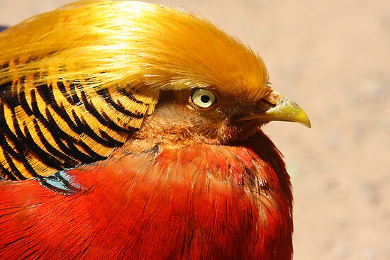 Golden Pheasant by Steve Bullock