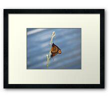 Monarchs Mating Framed Print