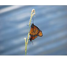 Monarchs Mating Photographic Print