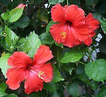 Red Hibiscus by Jen Hendricks