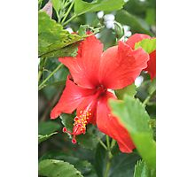 Single Hibiscus Photographic Print