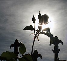 Rose Silhoutted by David Hill