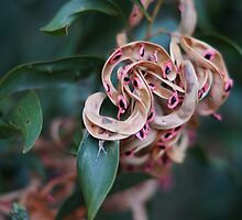 Tasmanian Blackwood Seed Pods by michellerena