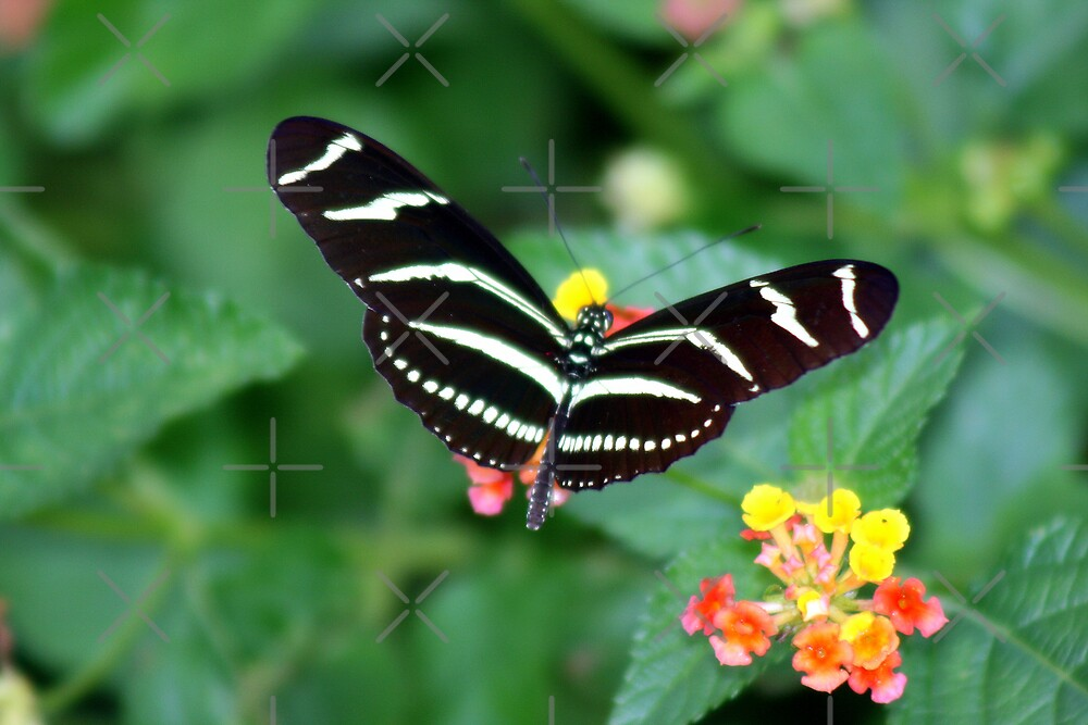 Zebra Longwing by Julie's Camera Creations <><