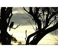 Butcher bird silhouette Photographic Print