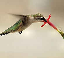 HummingBird by PamelaJoPhoto