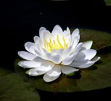 White Lily by Kathy Weaver
