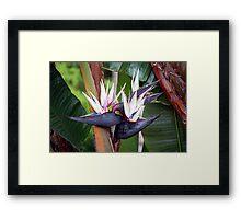 Giant Bird of Paradise Framed Print