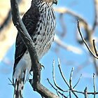 Juvenile Cooper's Hawk by Carl Olsen