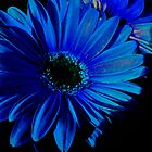 Blue Gerbers by PPPhotoArt
