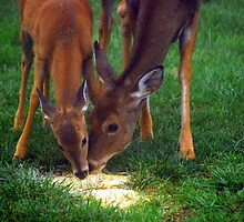 Mother and Fawn  by madman4