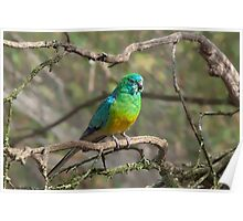 Red-rumped Parrot at Serendip Poster