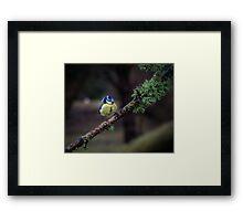 Blue tit on a branch Framed Print