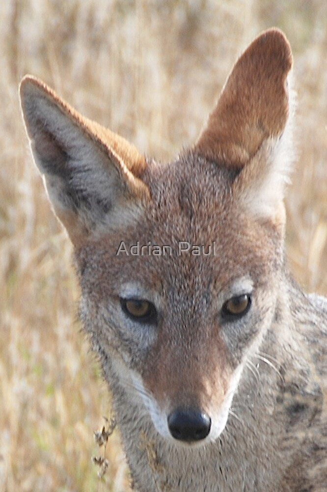 Black-Backed Jackal, Central Kalahari Game Reserve, Botswana, Africa by Adrian Paul
