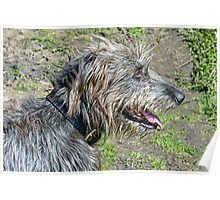 Gracie   Irish Wolfhound Poster