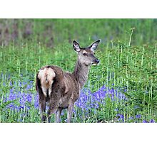Red deer in the bluebells Photographic Print