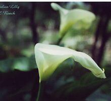The Italian Lilly by caroler