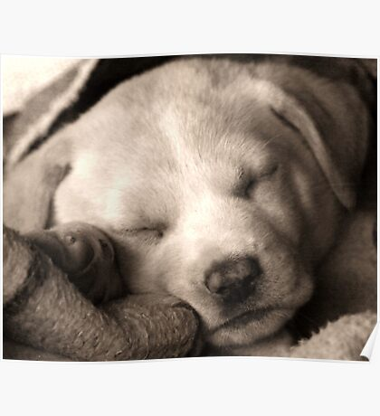 puppy in a blanket Poster