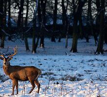 Stag in the snow by Tom Page