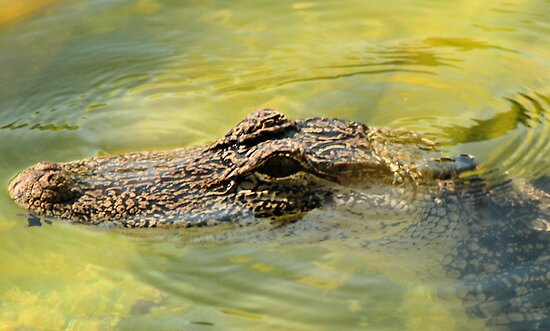 gator by stelfox1