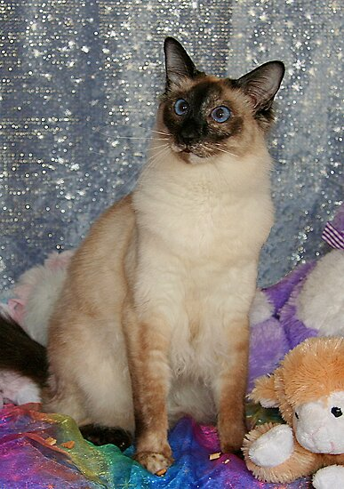 Topaz, A Balinese Cat, With Toys by Jenny Brice