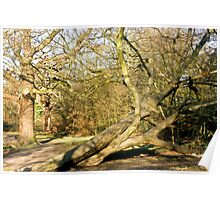 Leaning Tree, Epping, UK Poster